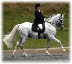 Andalusian Stallion Horse Alano Sire Barbian