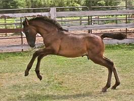 PRE Andalusian Colt for sale