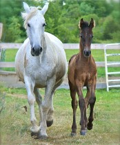 PRE Andalusian Colt