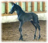 alano foal horse breeding sale